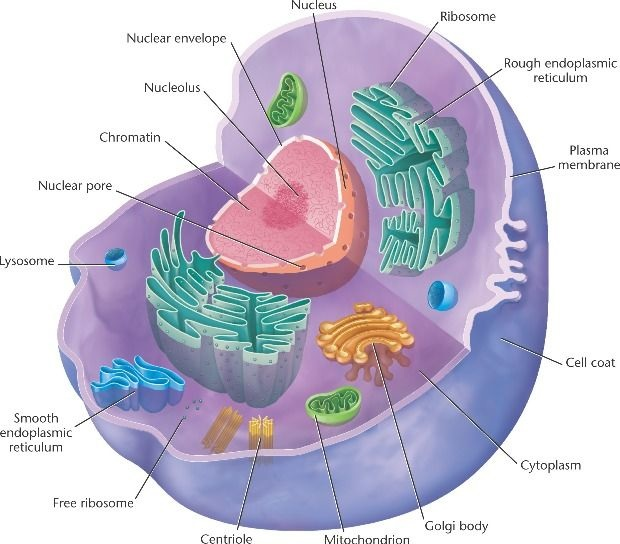 Cell functions diagram complete wiring diagrams unit 3 the cell rh mrrittner weebly com animal cell functions diagram eukaryotic plant cell diagram ccuart Image collections